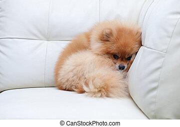 Pommeranische Hunde, süße Haustiere, die auf einem weißen Sofa schlafen.