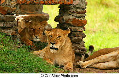 Porträt eines wilden Löwen