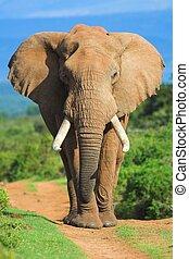 porträt, elefant