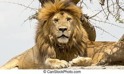 Portrait eines Löwen.