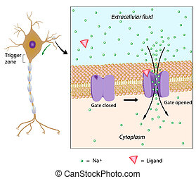 potential, eps10, lokal, neuron