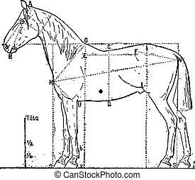 Proportionen des Pferdes, alte Gravur.