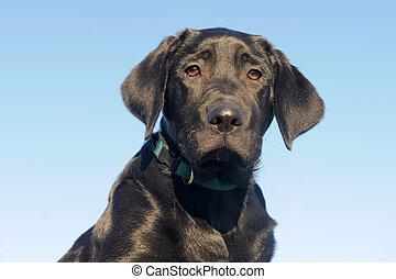 Puppy Labrador Retriever.