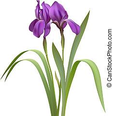 Purple Irisblumen
