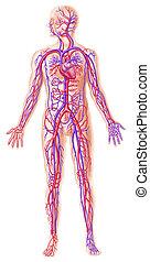 querschnitt, circolatory, menschliche , system