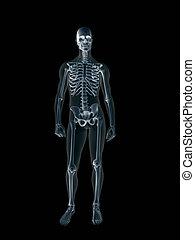 röntgenaufnahme, body., xray, menschliche , mann