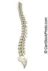 Rückenknochen