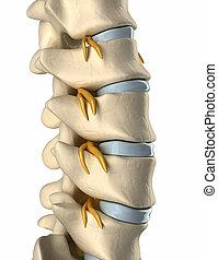 Rückenmarksnerv - Seitenansicht