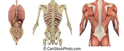 rückseite, oberkörper, overlays, -, anatomisch