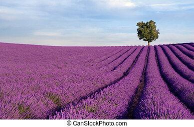 Reiches Lavendelfeld mit einem einzigen Baum