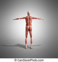 render, grau, koerperbau, menschlicher muskel, 3d