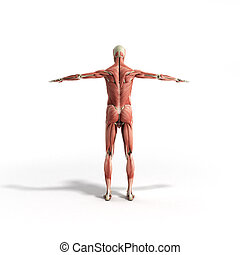 render, koerperbau, menschliche , weißes, muskel, 3d