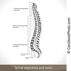 roots., segmente, spinal