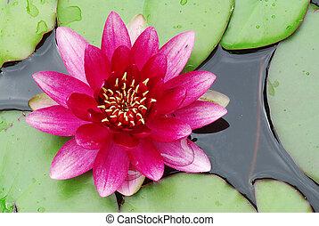 Rosa Wasserlilie.