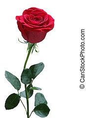 rose, ledig