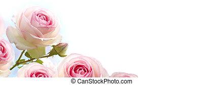 Rosebush-Blumen, rosa Rosen über einem Absolventenblau bis weißem Hintergrund, horizontales Banner