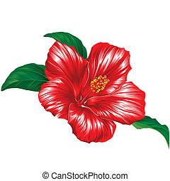 Rote Hibiskusblüte auf weißem Hintergrund