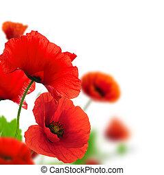 Rote Mohnblumen über einem weißen Hintergrund. Border-Foral-Design für eine Seite. Die Blumen zu schließen, mit Konzentration und verschwommenem Effekt