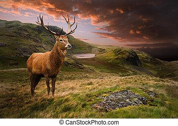 Roter Hirsch in launischer, dramatischer Berguntergangslandschaft