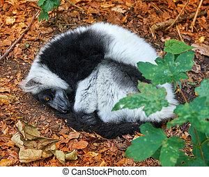 Ruffed Lemur von Madagaskar Portrait.