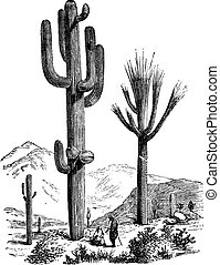 Saguaro oder Carnegiea Gigantea Vintagegraving