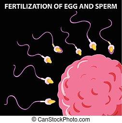 samen, diagramm, ausstellung, ei, befruchtung