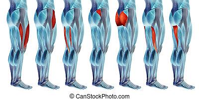 sammlung, bein, koerperbau, anatomisch, oder, muskel, 3d, satz, menschliche , höher