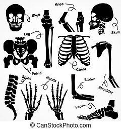 Sammlung menschliches Skelett.