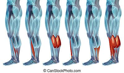 sammlung, unterschenkel, koerperbau, anatomisch, oder, muskel, 3d, satz, menschliche