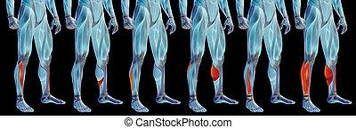 satz, bein, menschliche , oder, koerperbau, 3d, anatomisch, senken, muskel, sammlung