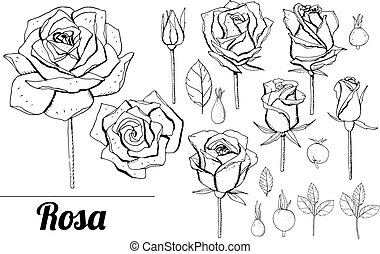 satz, hintergrund, weißes, monochrom, freigestellt, elegant, gegenstände, schwarz, roses.