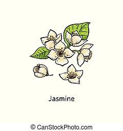 satz, jasmin, blätter, -, hand, blume, grün, gezeichnet, weißes, zeichnung