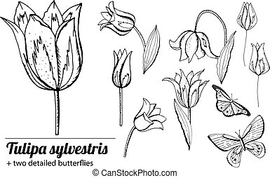 satz, tulips., weißer hintergrund, freigestellt, gegenstände, schwarz