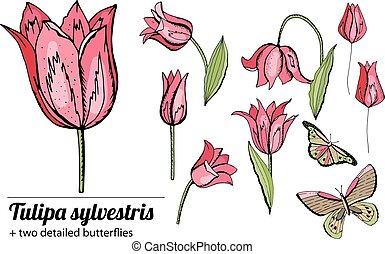 satz, tulips., weißer hintergrund, freigestellt, rosa, gegenstände