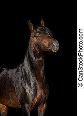 schöne , bellen pferd, freigestellt, porträt, black.