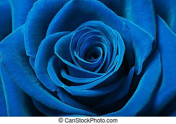 Schöne blaue Rose.