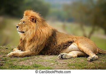 schöne , löwe, tier, wild, porträt, mann