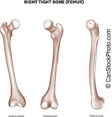schenkelbein, bone-, fest
