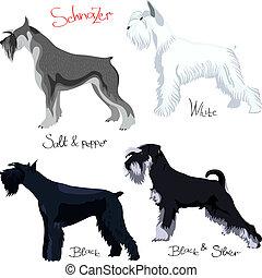 schnauzer, purebred, verschieden, satz, farben, vektor, hunden