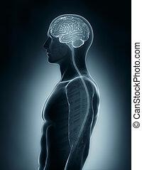 schnur, gehirn, medizinische ultraschallaufnahme, rückenmarks röntgenaufnahme