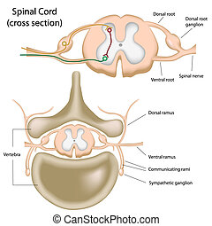 schnur, spinal, abschnitt, kreuz