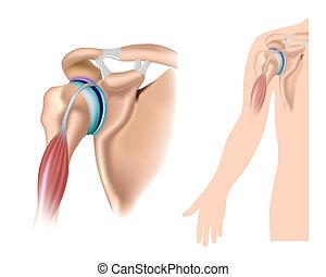 Schulter Anatomie, Eps 10.