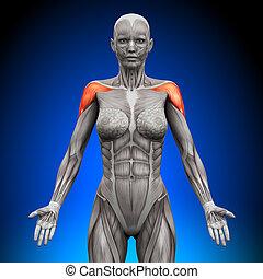 schultern, -, /, deltoid, weibliche , anatom