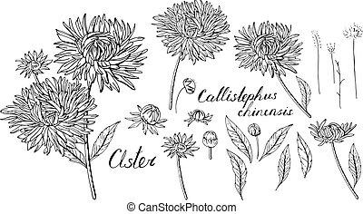 Schwarz und weiß mit Sternblumen. Objekte, isoliert auf weißem Hintergrund