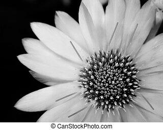 Schwarze und weiße Blume