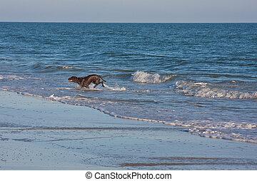 Schwarzer Labrador-Triebhund