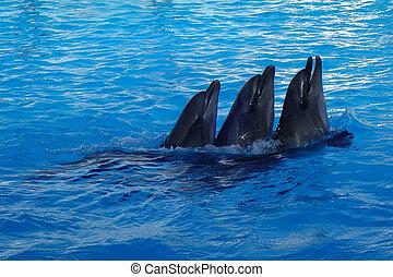 schwimmender, drei, delphine