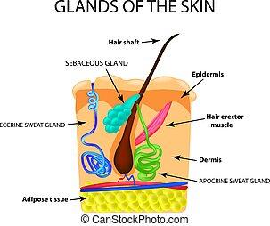 sebaceous, freigestellt, abbildung, infographics., vektor, gland., schweißperlen, hintergrund, hair., struktur