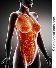 seitlich, koerperbau, weibliche , organe, röntgenaufnahme, ansicht