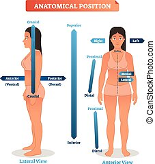 seitlich, mittler, illustration., überlegen, vektor, stellen, anatomisch, minderwertig, vorhergehend, brunnen, hinterteil, seiten, schema, proximal, distal, positionen